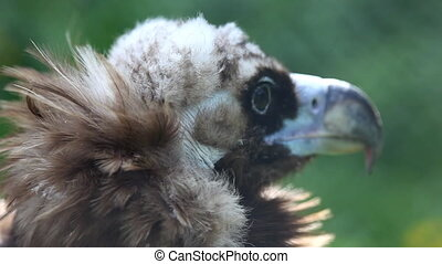 black vulture head close up