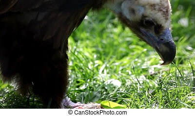 black vulture eat meat