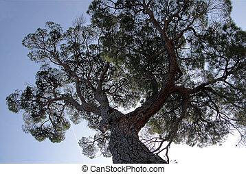Pine in the Boboli Gardens in Florence