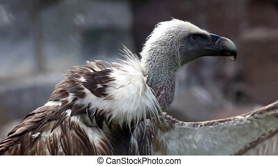Griffin Vulture with open wing