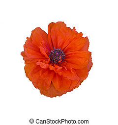 single red poppy isolated on white - single terry red poppy...