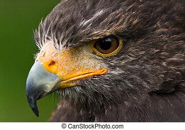 Harris hawk - Head of Harris hawk in side angle view