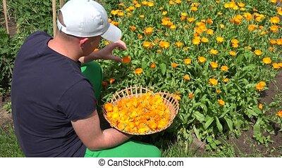 Herbalist villager man harvest herbal plants in field. Marigold herb. 4K