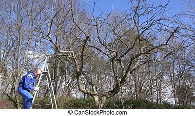 garden worker man climb on ladder and prune fruit tree branches