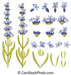 Lavender flowers vector illustration constructor