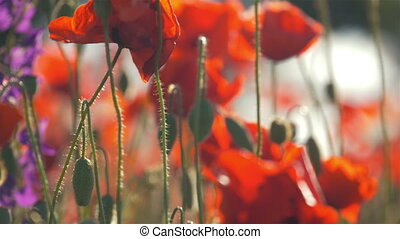 poppy flowers poppy field beautiful nature