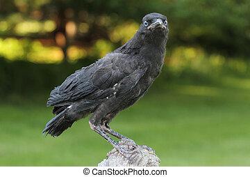 Baby American Crow Corvus brachyrhynchos on a perch