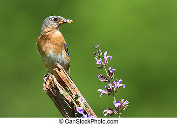 Eastern Bluebird With Flowers