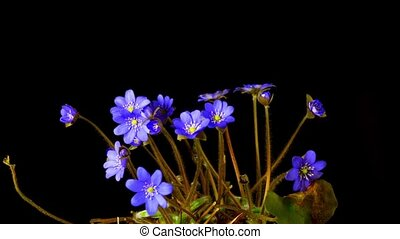 Spring flower Hepatica blossoms,  time-lapse