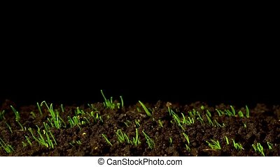 The rapid growth of spring onions, time-lapse