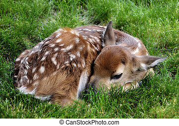 Fawn Resting - cute little fawn resting in the grass