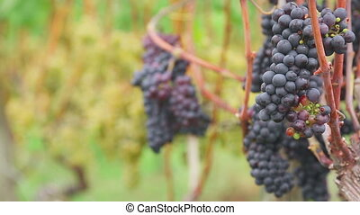 Red and White grapes bunches