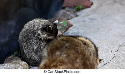 raccoon in zoo - Procyon lotor - couple of raccoon in zoo