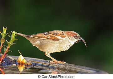 House Sparrow Passer domesticus drinking from a bird bath in...