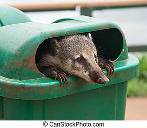 Coati (Nasua nasua) - Cute Coati (Nasua nasua) begging for...