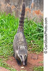 Coati, (Nasua, nasua),