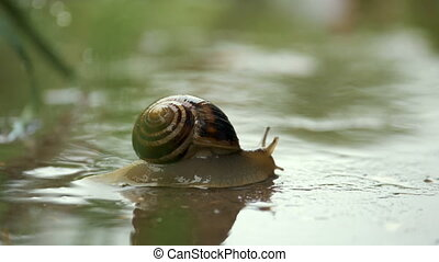 Snail crawling on plant with rain and green background