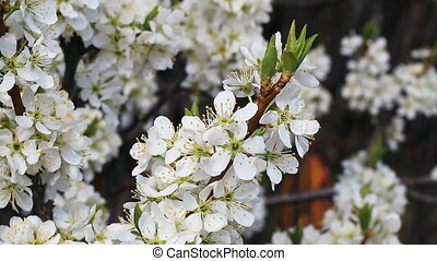 Flowery Trees - Blossomed cherry and apple trees