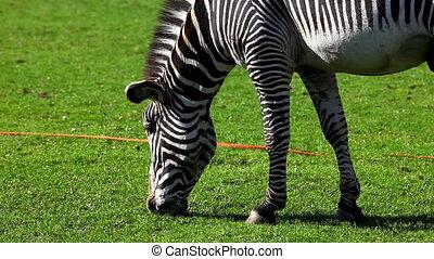 Zebra feed on grass