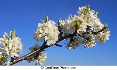 Flowery Trees - Blossomed apple trees