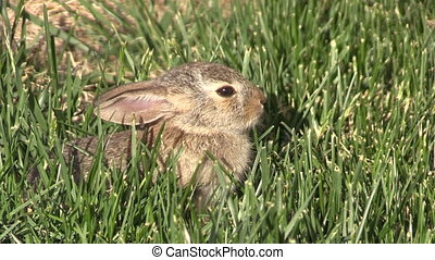 Baby Cottontail Rabbit - a cute baby cottontail rabbit