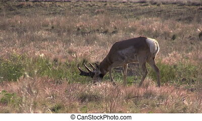 Pronghorn Antelope Buck - a pronghorn antelope buck on the...
