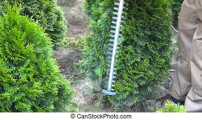 Gardener trimming thuja in green park with electric trimmer....