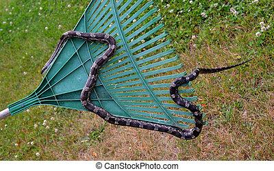 Rat snake climbing crawling on a rake