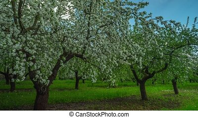 Blossoming apple orchard, panoramic