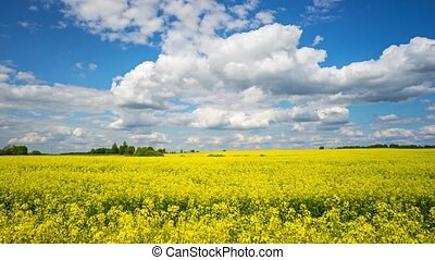 Blooming rapeseed field, panoramic