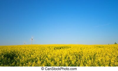 Field of blooming rapeseed and wind