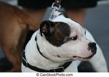 amerikai,  Terrier,  staffordshire