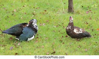 Two ducks on the grass. Ducks of various colors are near -...