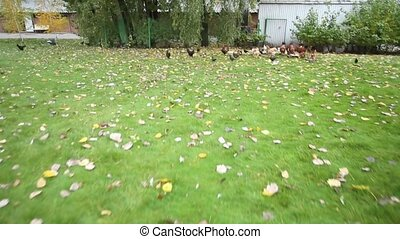 Many chickens and roosters in the yard. Birds outdoors -...