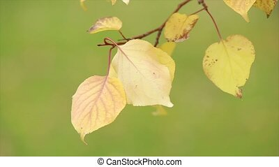 Yellow leaves on a thin twig. Edges of the leaves dry. Close...