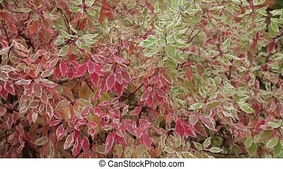 Red and green leaves. Close up. Dynamic change of focus -...