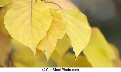 Yellow autumn leaves on a twig. Leaves are jagged edges....