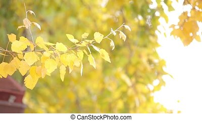 Yellow leaves on the tree. Close up