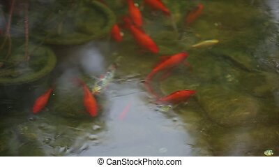 Fish in the water School of red fish in the pond Close up -...