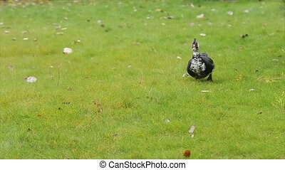 Cute domestic gosling or duck walking in green grass - Duck...