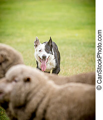 sheep dog corralling sheep