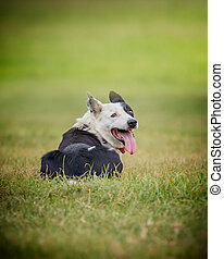 sheep  dog 5 - sheep dog resting on the grass