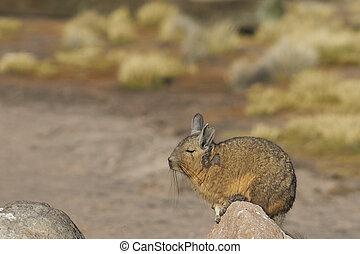 Mountain Viscacha on the Altiplano - Mountain Viscacha...