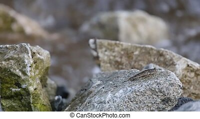 Mudskipper or Amphibious fish