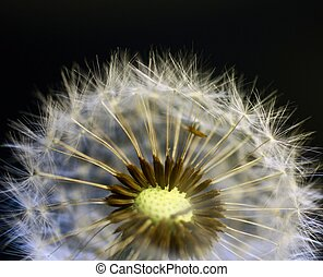 Close-up of dandelion