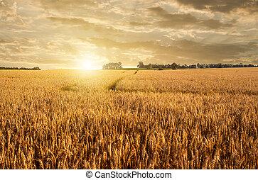 dorado, trigo, campo,