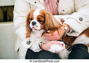 White and red Cavalier King Charles Spaniel Dog sits in...