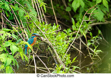 Common Kingfisher Alcedo Atthis - Male with Fish -...