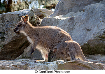 Closeup of a Red-necked Wallaby baby with mother - Closeup...
