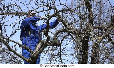 professional gardener pruning apple tree branches with...